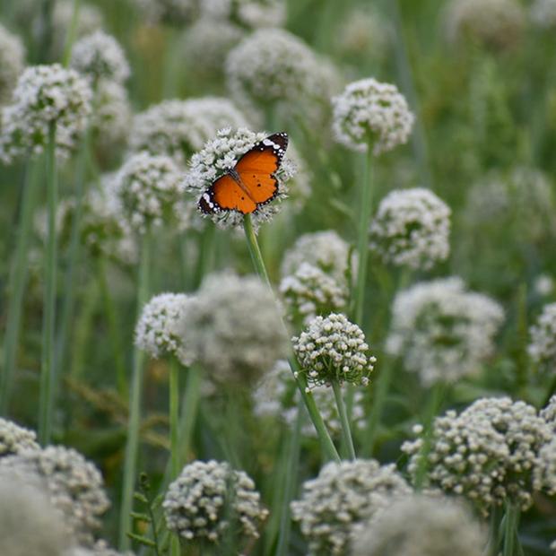biodiversite papillon sur un champ